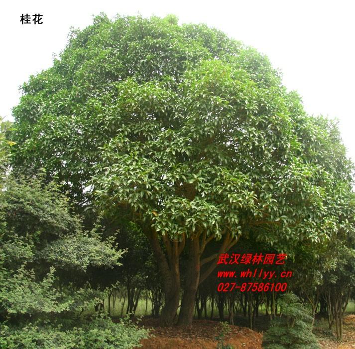 桂花树 根系发达,树形好,冠径大