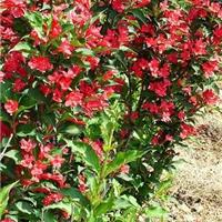 供应适应盐碱地栽植的红王子锦带
