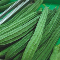 丝瓜种苗 高产丝瓜种苗 丝瓜种苗培育 优质丝瓜种苗 锦钰农业