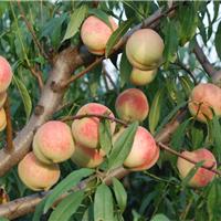 桃树苗 优质桃树苗 山东优质桃树苗