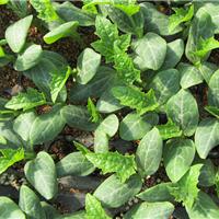 寿光丝瓜种苗|丝瓜种苗供应|进口丝瓜种苗|丝瓜种苗|锦钰农业