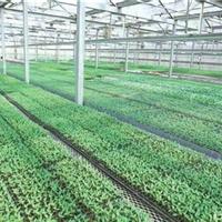 优质丝瓜种苗|高产丝瓜种苗|抗病丝瓜种苗|丝瓜种苗培育|锦钰