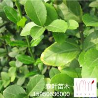 森叶为你提供成活利率高的优质国槐种子