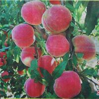 山东优质映霜红桃树苗基地【惠民果树苗木】