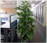 【成都酒店租摆】成都茶楼植物租凭||成都临时花卉租摆