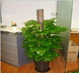 成都绿植出租|【红枫园艺】成都办公室绿化|成都花卉租摆