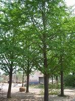 供应10公分12公分13公分15公分银杏树