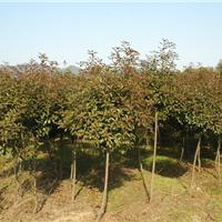 供应红叶石楠柱、球、树、扇、苗