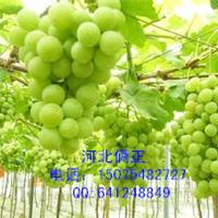 江苏常州葡萄架搭架专用不生锈热镀锌钢丝