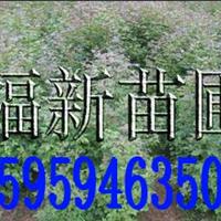 供应枫香树苗 枫香种子 枫香苗 枫树