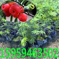 供应红豆杉苗,竹柏苗,罗汉松苗,油茶苗