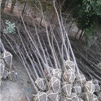供应榉树1-35公分