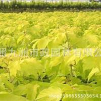 供应金叶复叶槭 金叶复叶槭价格