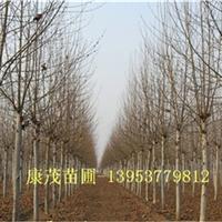 供应15公分两年冠法桐造型法桐工程苗
