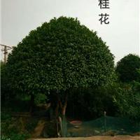 供应桂花树\2-20公分桂花