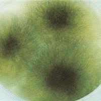 肠炎沙门氏菌亚利桑那亚种