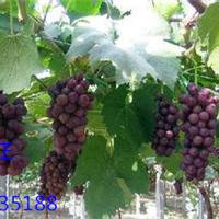葡萄架钢丝葡萄搭架钢丝搭建葡萄架钢丝