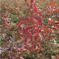 供应美国沼生栎