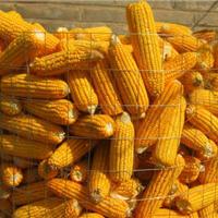 金秋季节安平县厂家批发Q195型圈苞米棒子网