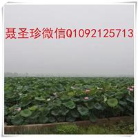滨州地区雪莲藕种植防渗膜供应商泰安永峰