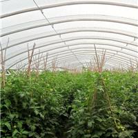 供应温室辣椒种植大棚骨架
