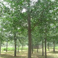 供应银杏树苗木