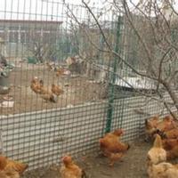 大庆绿色养鸡铁丝网适合大面积采用