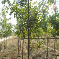 银杏树苗园林网银杏树总经销